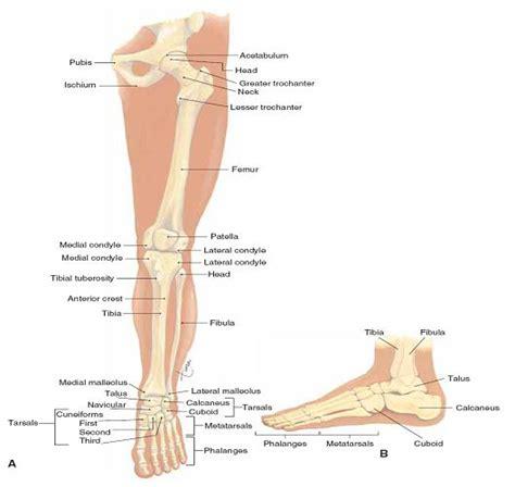 Tulang Gigitan Hip Bone hadijah menulis rangka apendikular