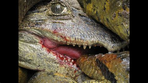 Anaconda vs Caiman Alligator YouTube