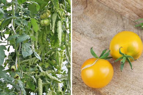 hortensien erfroren was tun tomaten sind erfroren was tun tomatenpflanzen retten so geht s tomaten de
