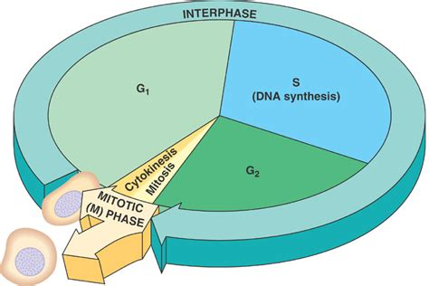 Cell Cycle Diagrams  Diagram Site