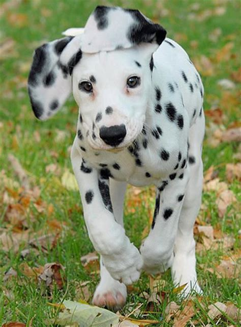 30 days dalmatian puppies for 233 best dalmatians images on dalmatian