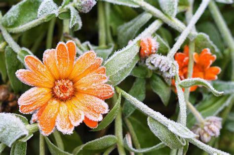 fiori profumati invernali piante invernali come coltivarle