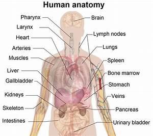 Human Body Diagram Labeled Organs
