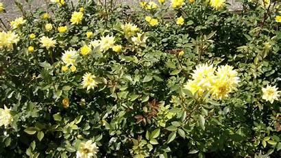 Bush Sunny Rose