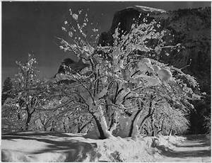trees with snow on branches quot half dome apple orchard