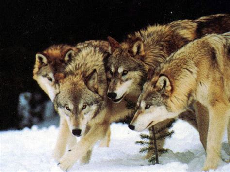 Alpha Wolf Wolf Pack Wallpaper by Wolf Pack The Descendants Of The Great Alpha Wolf Photo