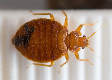 Bed Bugs by Map Of Bed Bug Genome Explains Ick Factor And Some Mysteries