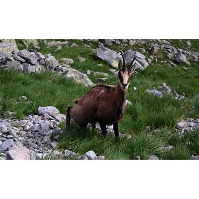 Alpine chamois - Rupicapra rupicapra : WAZA World