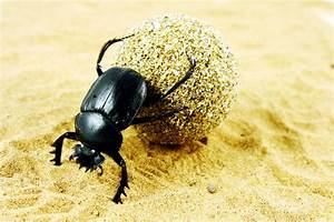 Hey  Life Could Be Worse  You Could Be A Dung Beetle