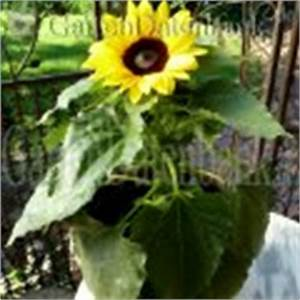 Sonnenblume Im Topf : sonnenblume helianthus annuus schneiden pflege pflanzen bilder fotos garten ~ Orissabook.com Haus und Dekorationen