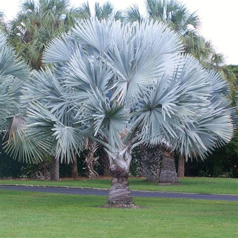 Palmeira Azul - Karla Santos