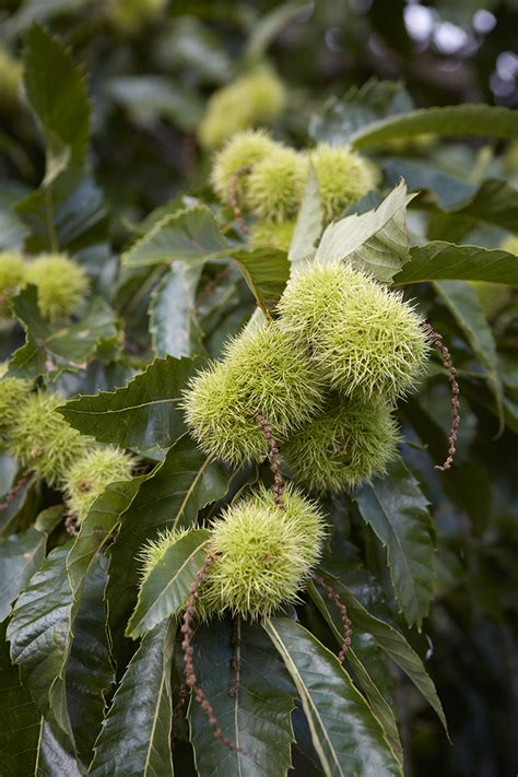chestnut trees in gardening 101 sweet chestnut tree gardenista