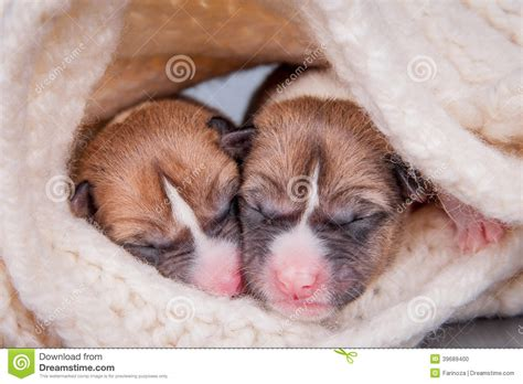 Newborn Basenji Puppies (first Day) Stock Photo