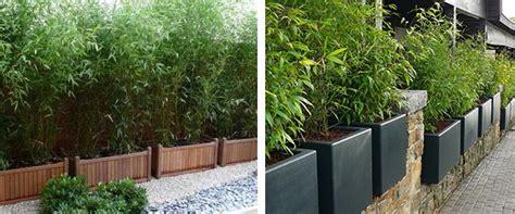 haie de bambou en pot bambou vente en ligne de bambous bambou pas cher leaderplant