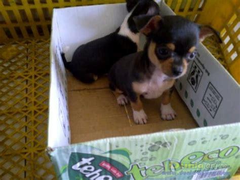 dunia anjing jual anjing chihuahua chihuahua pupies female