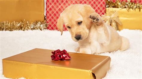 sponsor  guide dog puppy today guide dogs