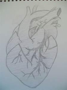 Human Heart Sketch by SushiNinjas on DeviantArt