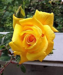 Rose Gold Sprühlack : climbing royal gold rose live plant bare rooted ebay ~ A.2002-acura-tl-radio.info Haus und Dekorationen