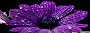 flowers purple water drops Facebook Cover timeline photo ...