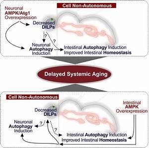 AMPK Modulates Tissue and Organismal Aging in a Non-Cell ...