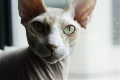 Sphynx Gatos Gato Cat Egipcio Imagens Mirada