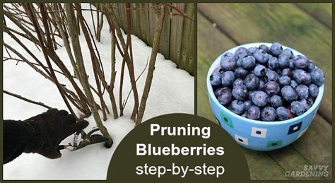 pruning blueberries step  step instructions   fruit