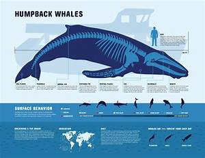 Humpback Whale Fact Sheet  Double Click Picture To Enlarge