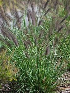 Black Flowering Fountain Grass Pennisetum alopecuroides ...