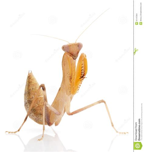 Praying Mantis stock photo. Image of space, brown, insect ...