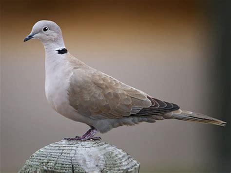 grey dove with black ring around neck category animals in europe