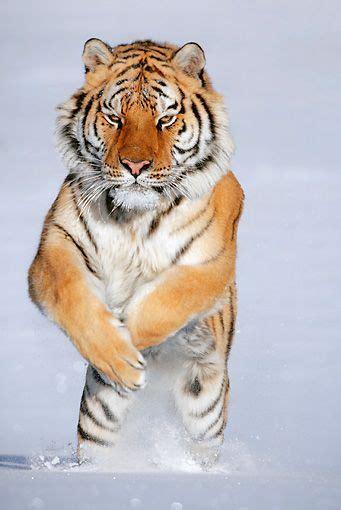 Siberian Tiger Face Google Search Tigers