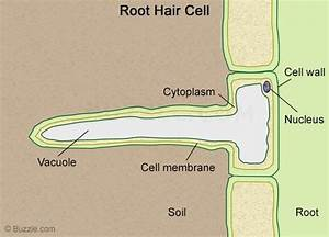 Ear Hair Cell Diagram Labeled
