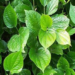 jenis jenis daun sirih manfaatnya asad collection