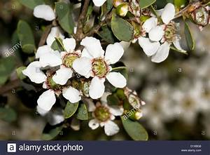 White flowers of Leptospermum laevigatum - tea tree - on ...