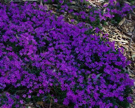 ground cover purple gardensonline phlox subulata