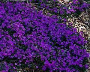 GardensOnline: Phlox subulata
