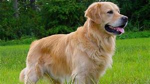 Golden Red River : golden retriever facts youtube ~ Orissabook.com Haus und Dekorationen