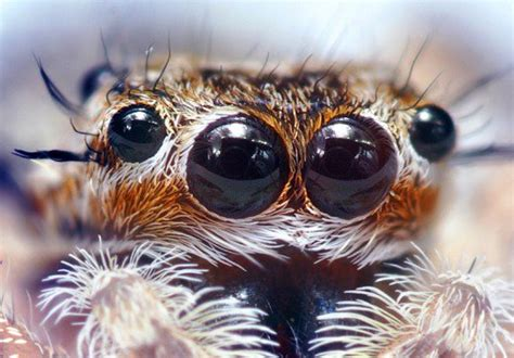 what does a wolf spider look like what do spider eyes look like how many eyes does a spider have owlcation