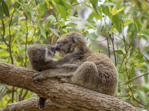 animales entranables koala
