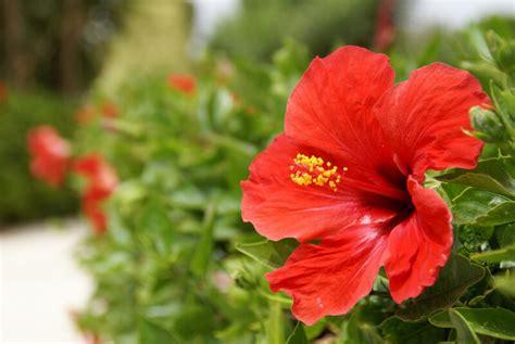 hibiskus pflege zimmerpflanze hibiskus pflege anleitung