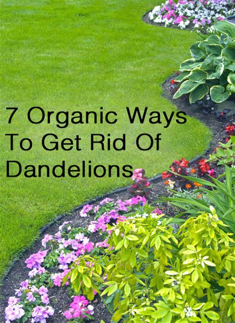 how to get rid of dandelions 7 organic ways to get rid of dandelions making diy fun