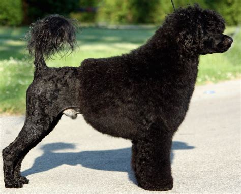 portuguese water dog pwd breed information  images