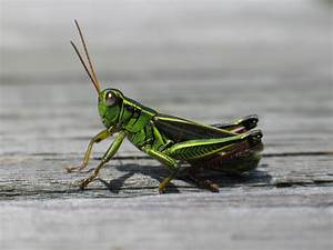 Grasshopper | Insects | Pinterest