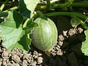 Quand Planter Courgette : melon culture du melon jardinage bio ~ Dallasstarsshop.com Idées de Décoration