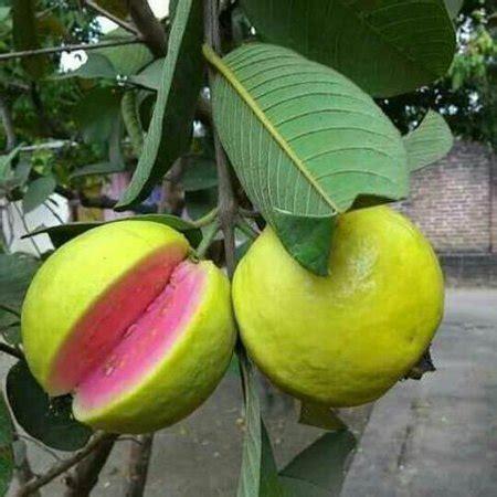 Pink Guava Tree Plant  1 Gallon Walmartcom