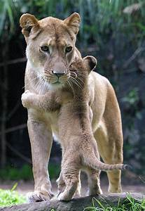 Baby Lion Designs Happy Pictures A Hug For