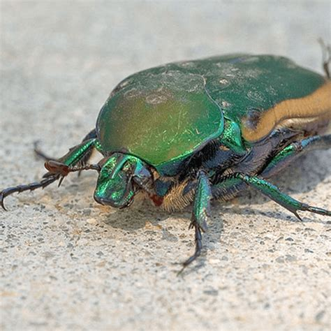 how to get rid of june beetles how to get rid of june bugs how to get rid of stuff