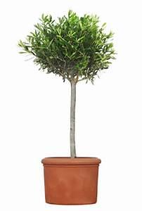 Olivenbaum Im Topf : olivenbaum lbaum olea europaea pflege und berwintern ~ Michelbontemps.com Haus und Dekorationen