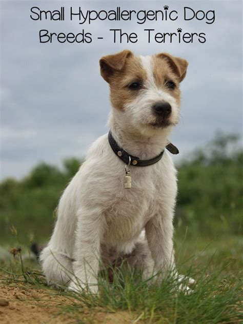 Non Hypoallergenic Dogs List by Small Hypoallergenic Breeds Terriers Dogvills