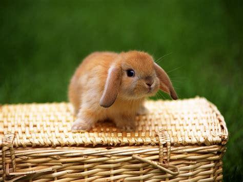 floppy ear bunny floppy eared bunny 365daysofdawn